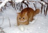 16423811-chat-roux-est-profond-dans-la-neige-sous-une-chute-de-neige-branche-de-la-laine-ci-dessus-est-mouill.jpg