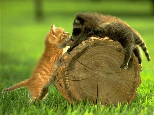 chaton-raton-laveur.jpg