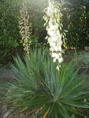 Doria et gontran pour le pr nom de la r cr plyson le for Yucca elephantipes exterieur
