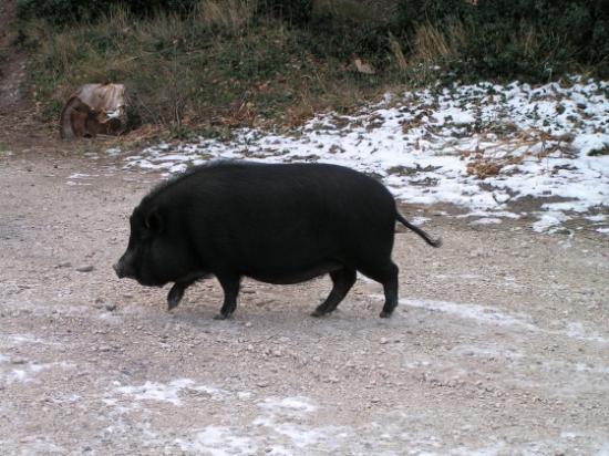 med-cochon-noir-visoflora-71090.jpg
