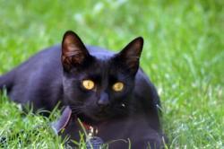 petite-panthere-noire-avez-chat-gouttiere-66752.jpg