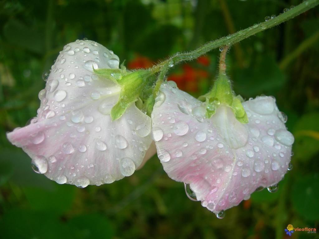Nos amies les fleurs (Symbolisme) - Page 3 Pois-de-senteur-et-gouttes-de-pluie-visoflora-5516