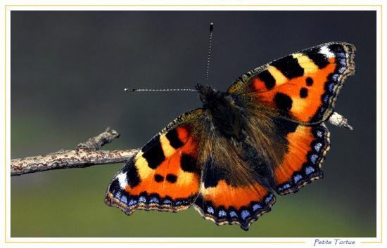 Pt papillon 1